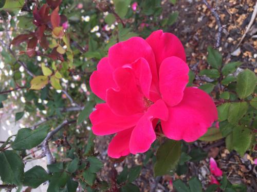 Rose in Bloom Redwood Shores 2018